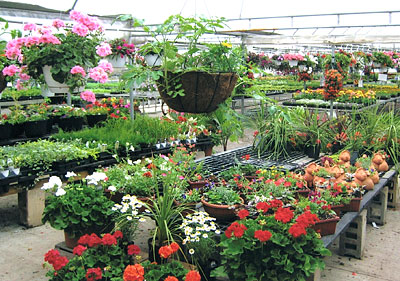 Beautiful and hardy flowers, plants, herbs and shrubs at the greenhouses at Jones Family Farm Market, Edgewood and Baltimore areas of Maryland.